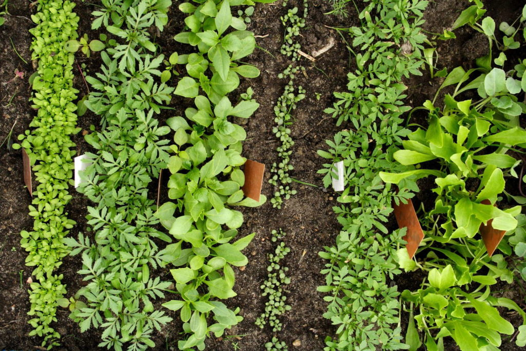 Anordnung im Beet Gemüseanbau