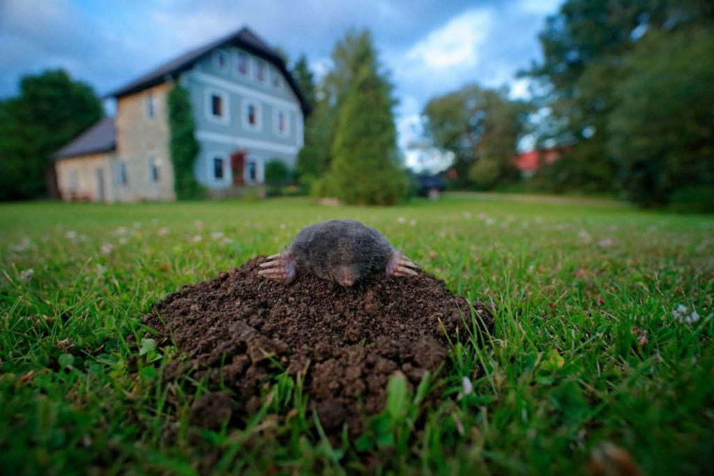 Maulwurf in Garten schaut aus Maulswurfshügel