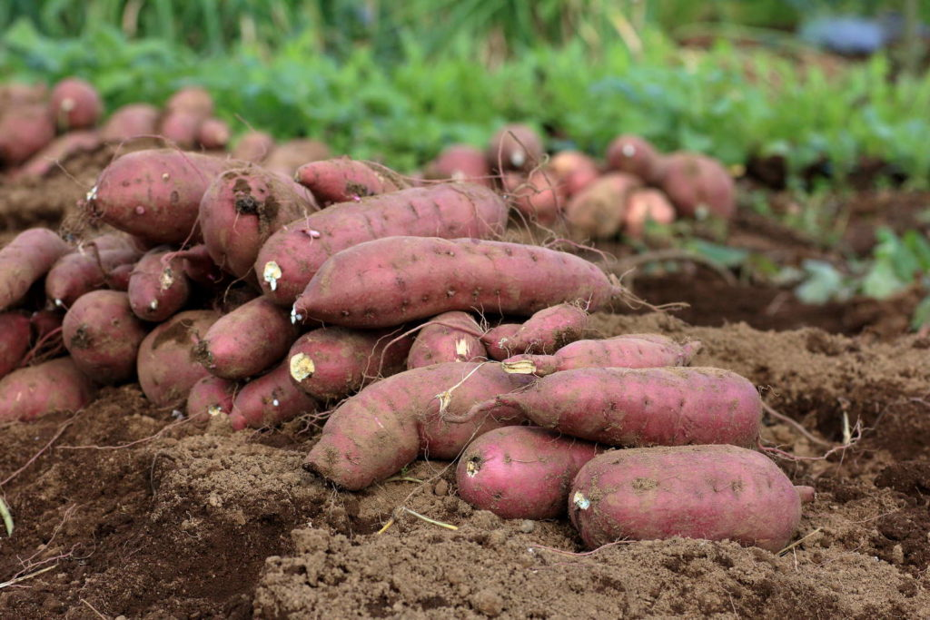 Ausgegrabene Süßkartoffeln auf Feld