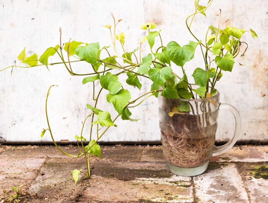 Süßkartoffelpflanze in Glas Wasser keimt