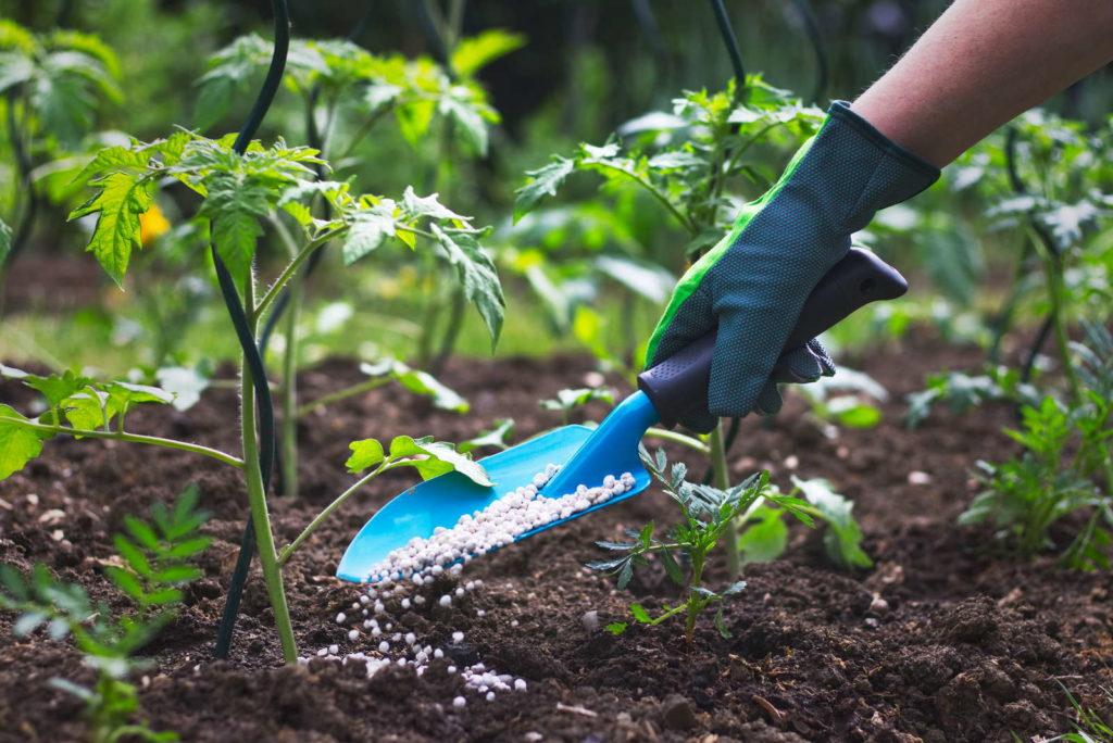 Tomatenpflanze wird im Garten gedüngt