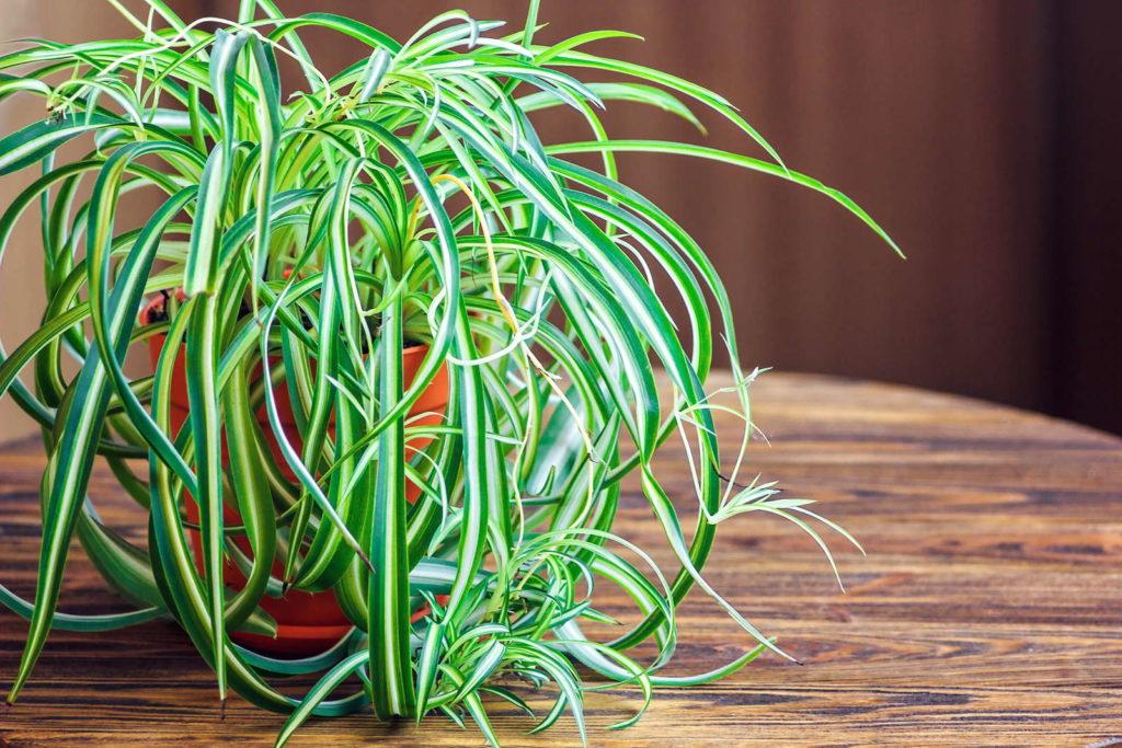 Grünlilie in Blumentopf