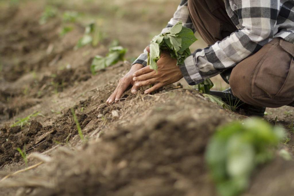 Süßkartoffelanbau mit Hilfe von Dämmen