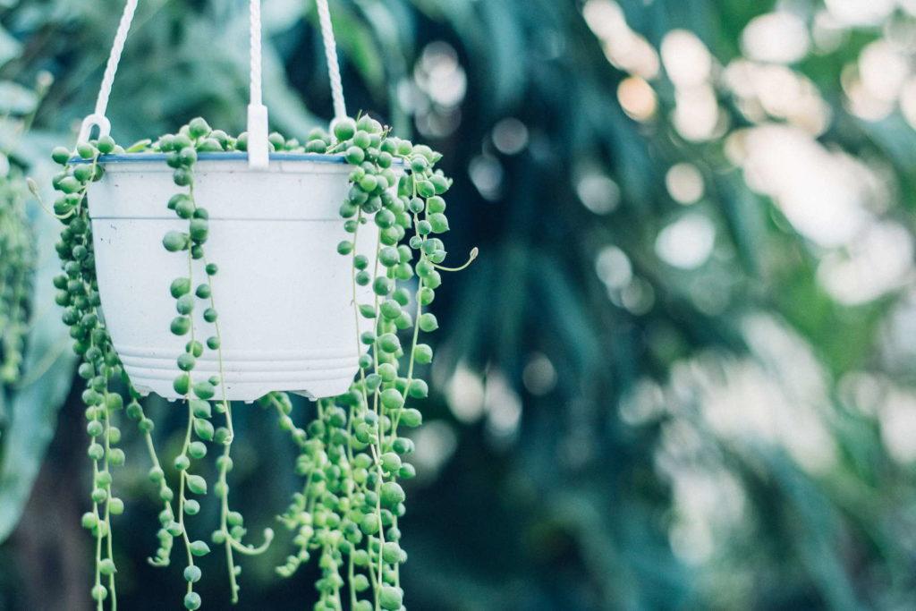 Perlenschnurpflanze in Blumentopf