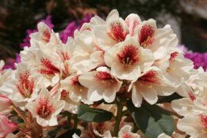 Rhododendron Amber Kiss Im Garten