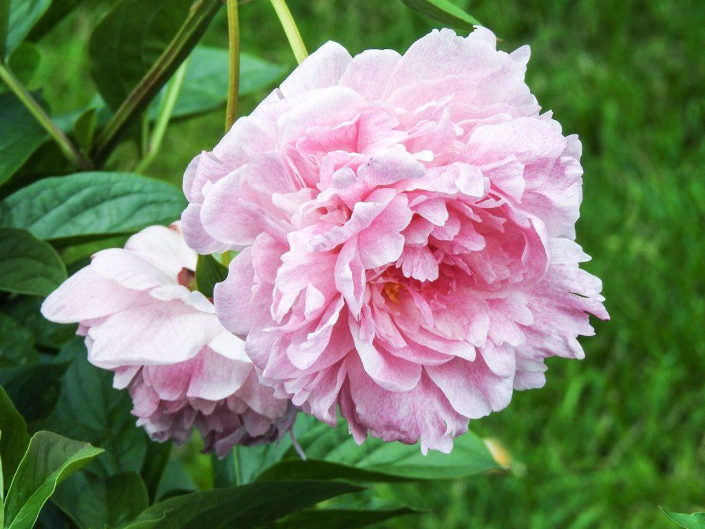 Ave Maria Kamelie rosa Blüte