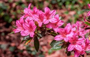 Rhododendronarten & -sorten: Die 20 Schönsten Rhododendren (Übersicht)