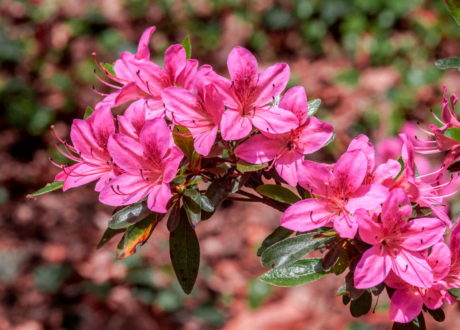 Zalea Mollis Hybrid (Rhododendron X Mollis) Blüten