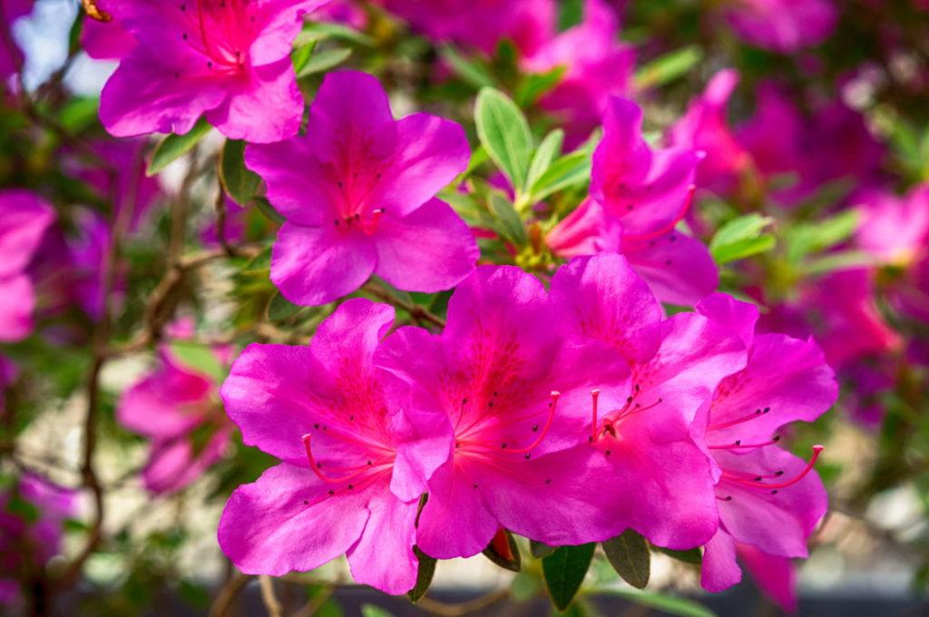 Azalea's Blüten Rhododendron simsii