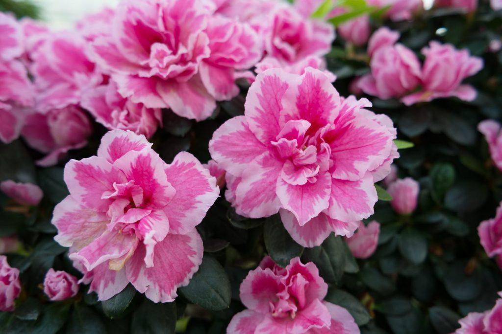 Azalee mit pinken Blüten