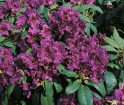 Rhododendron Azurro Im Garten