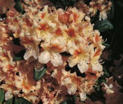 Rhododendron Bernstein Im Garten