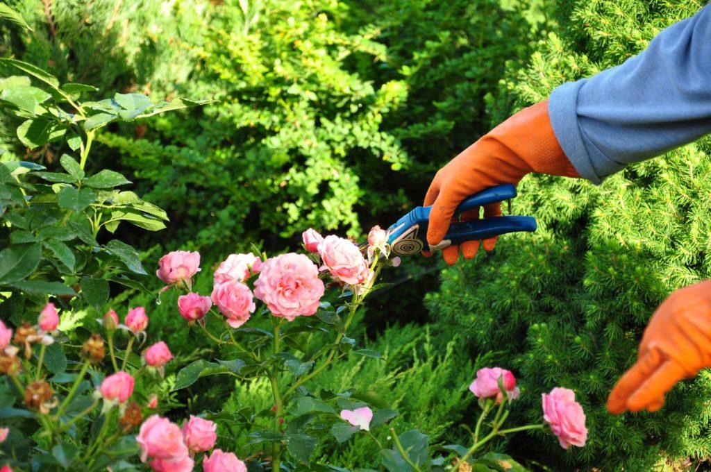 Blüten schneiden im Garten per Hand mit Schere