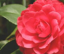 Black Lace Kamelie Rot