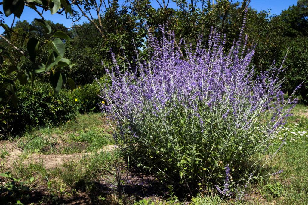 Blauraute im Garten