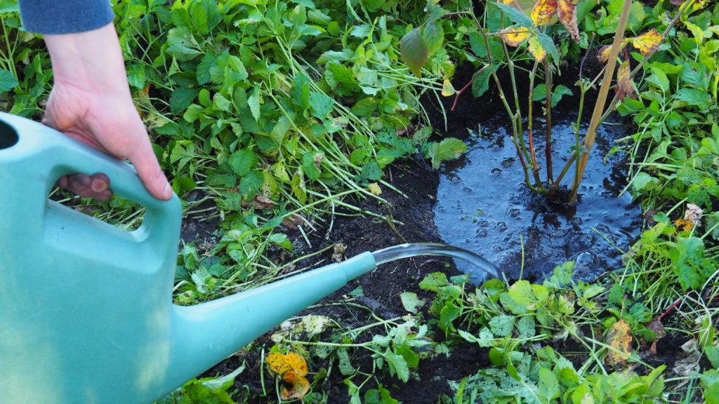 Frisch gepflanzte Brombeere wird angegossen