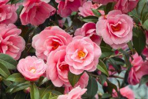 Camelia Japonica Rosa Blüten Am Baum