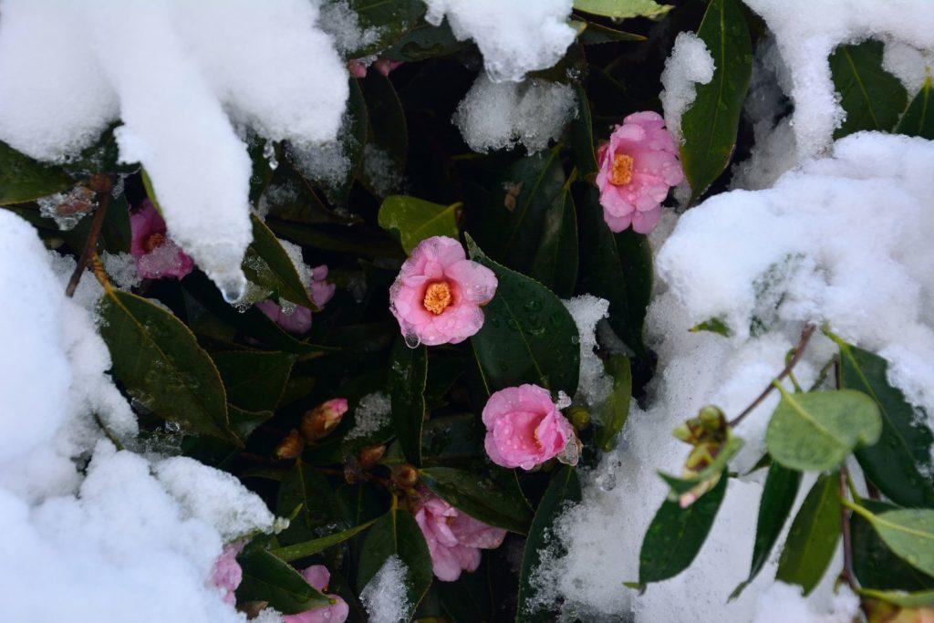 Camellia sasanqua unter Schnee