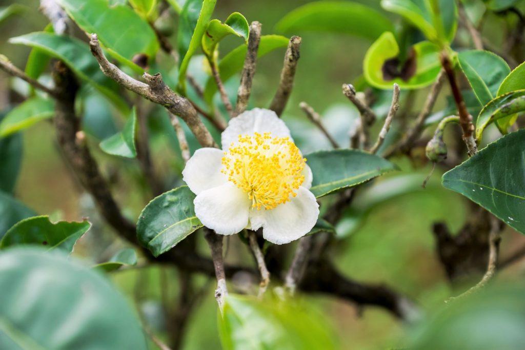 Camellia sinensis Blüte