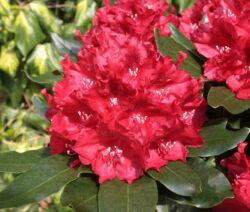 Rhododendron Cherry Kiss Im Garten