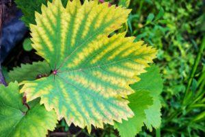 Chlorose Weinblatt Befall Verfärbtes Blatt