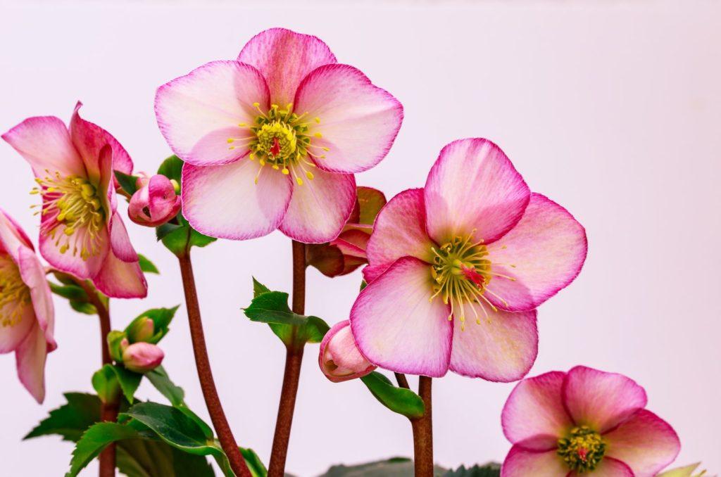 Christrose rosa blühend