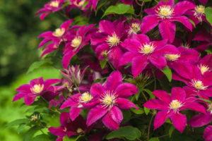 Clemantis In Magenta Viele Blüten Im Garten