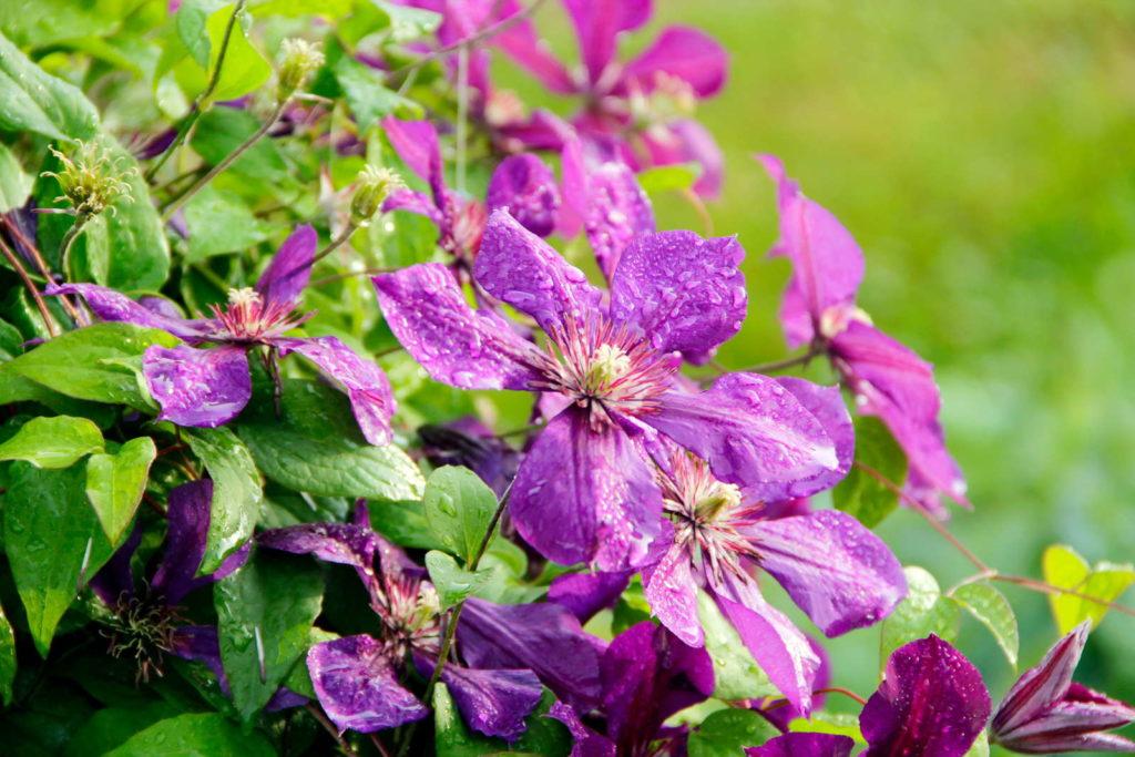 Clematis lila mit Wassertropfen im Garten