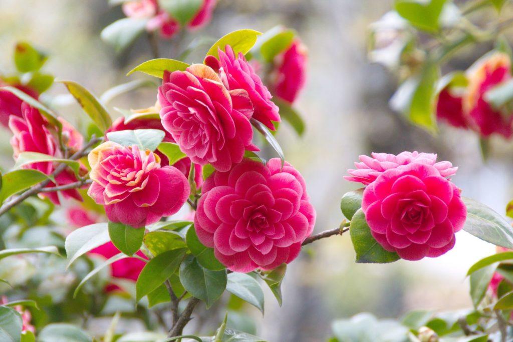Coquettii Kamelie rosa Blütn am Baum