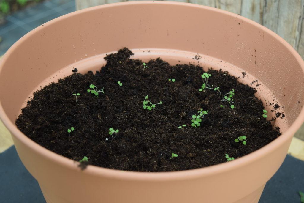 Tomatenkeimlinge in einem Blumentopf