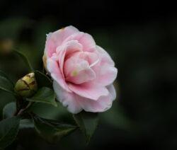 Daikagura Kamelie Rosa