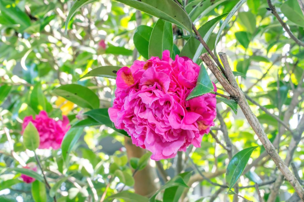 Debbie Kamelie rosa Blüte an Baum