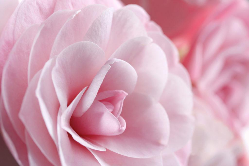 Desire Kamelie rosa