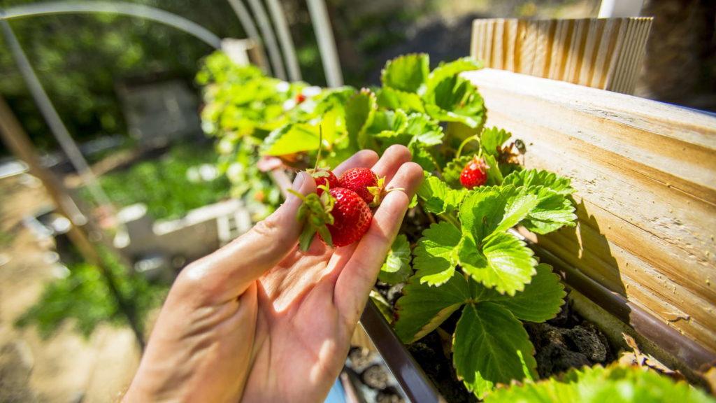 Erdbeere in Hand im Hintergrund ein vertikaler Garten