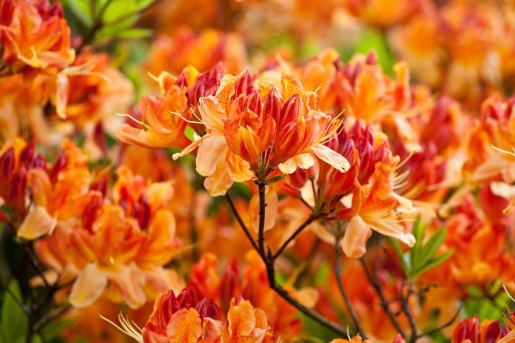 Geisha Orange Blüten im Garten