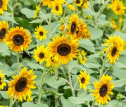 Helianthus Annuus Ring Of Fire Sonnenblumen