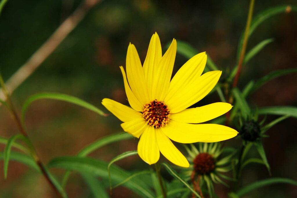 Helianthus salicifolius Sonnenblume