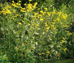 Helianthus Tuberosus Im Garten