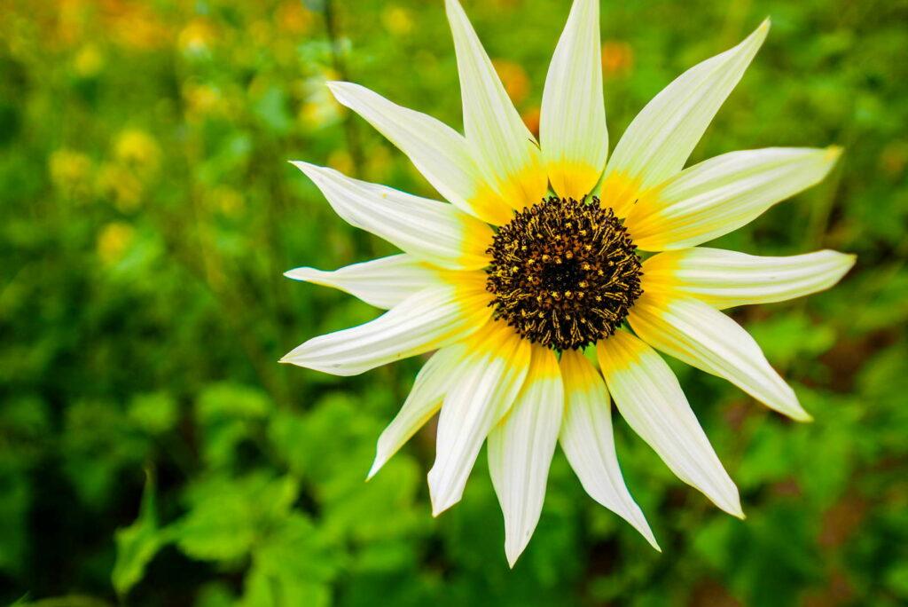 Italian White Sonnenblume