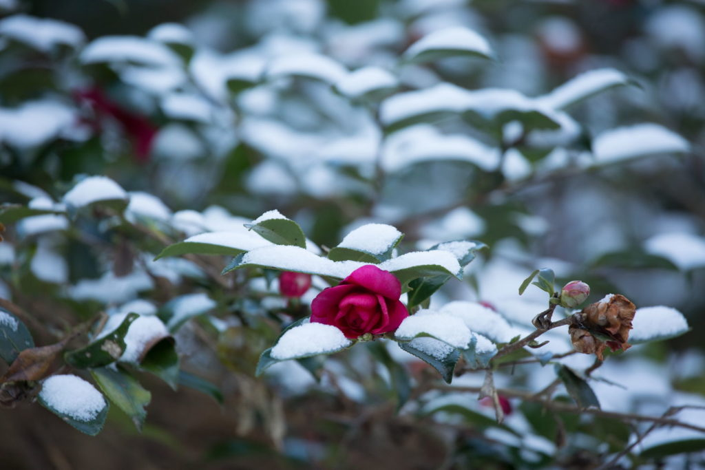 Kamelie Ast mit Schnee bedeckt Winter