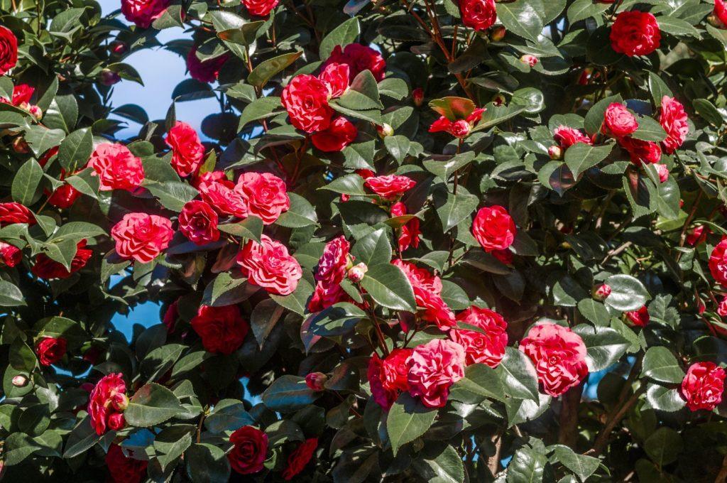 Kamelie baum rosa Blüten