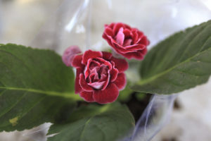 Kamelie In Plastik Verpackt Rosa Blüte