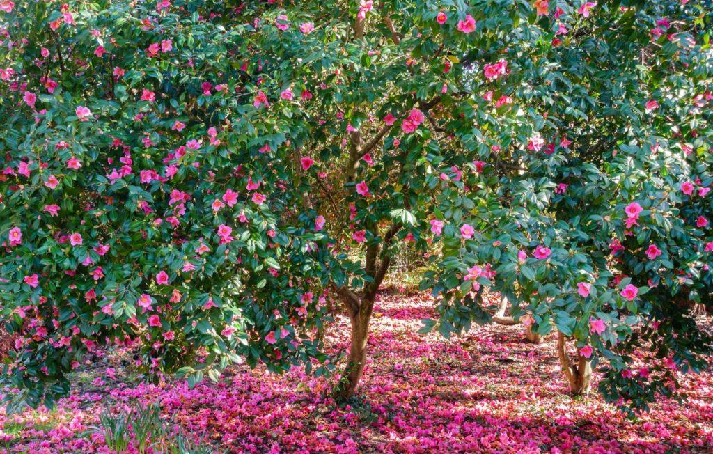 Kamelienbaum rosa