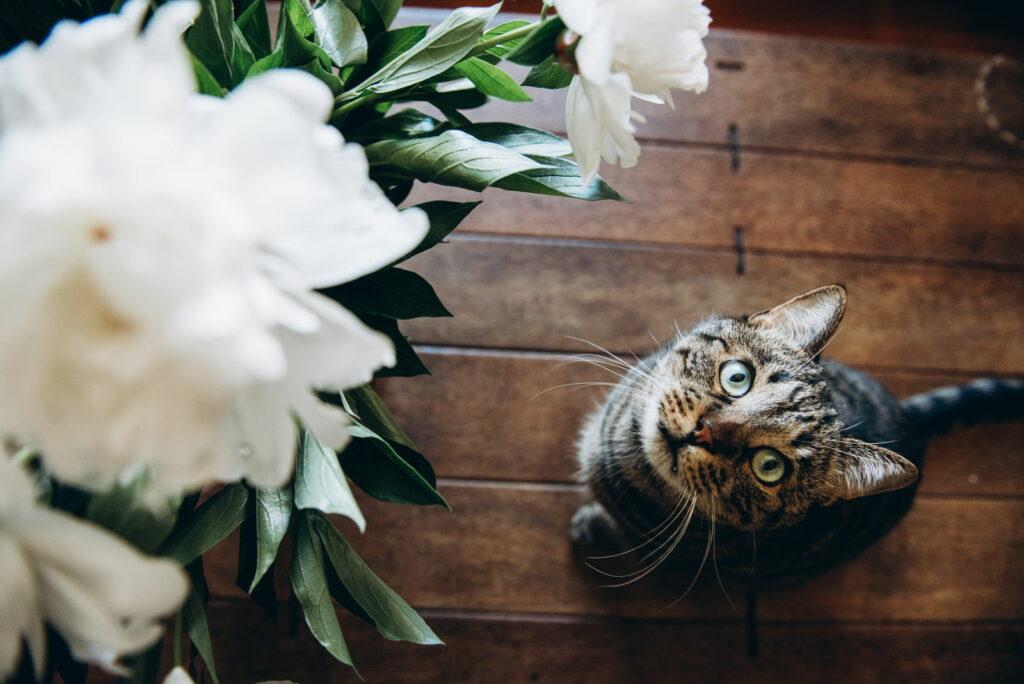 Katze vor Pfingstrosen