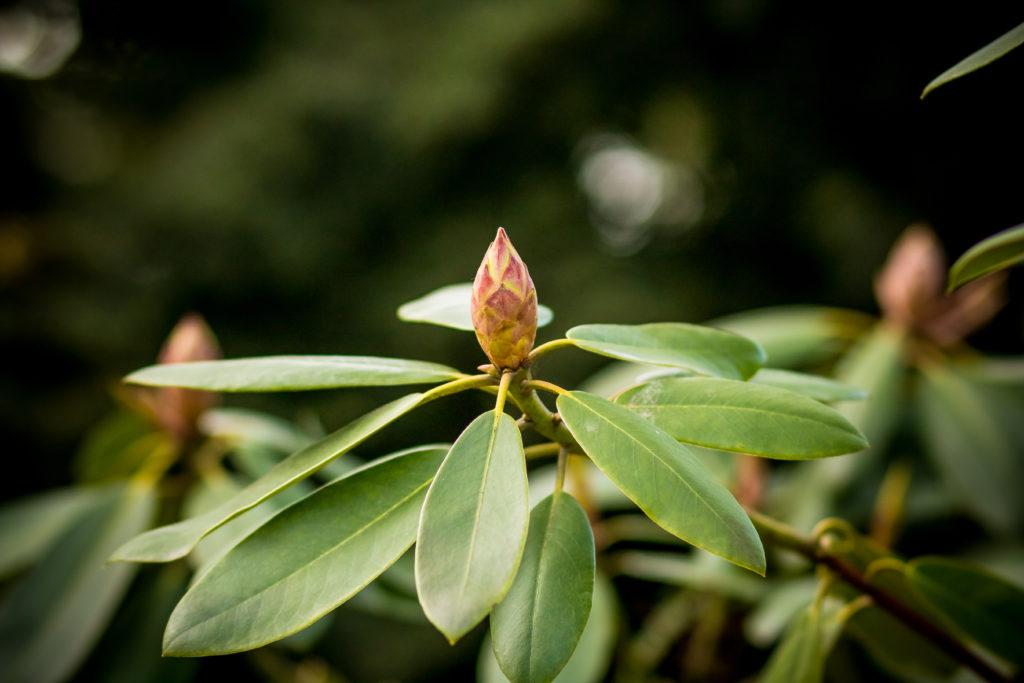 Rhododendronknospe Nahaufnahme