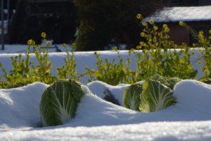 Grünkohl Im Schnee Im Winter