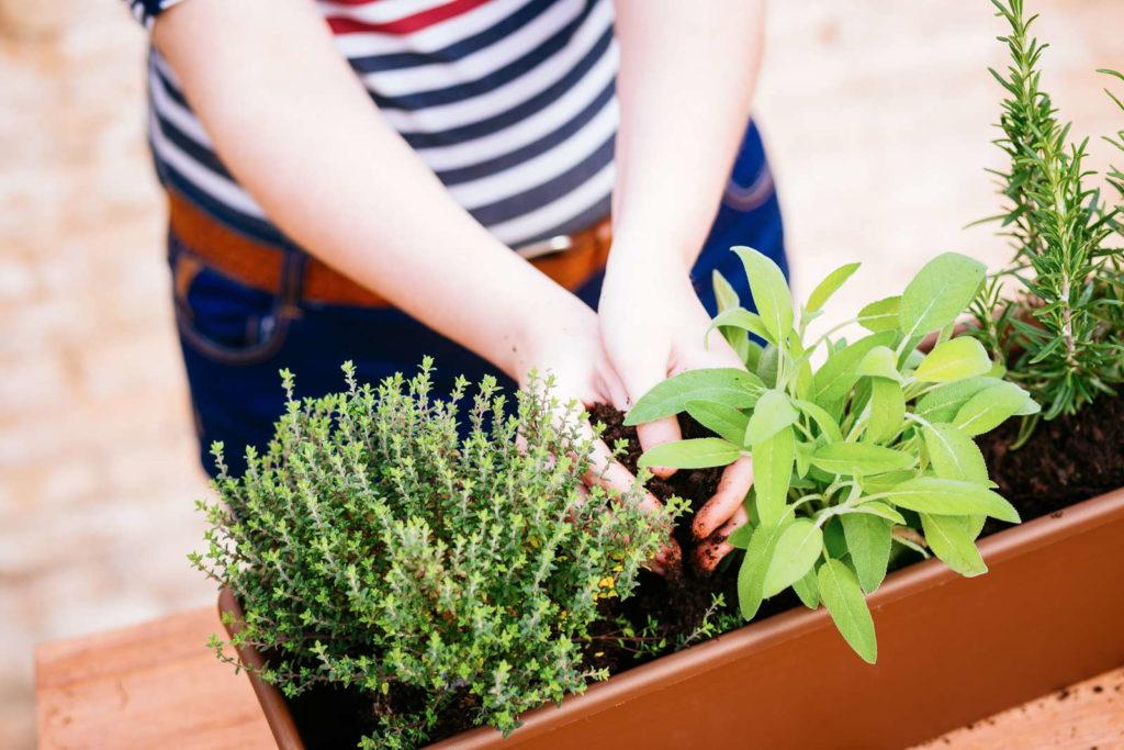 Kräuter werden eingepflanzt