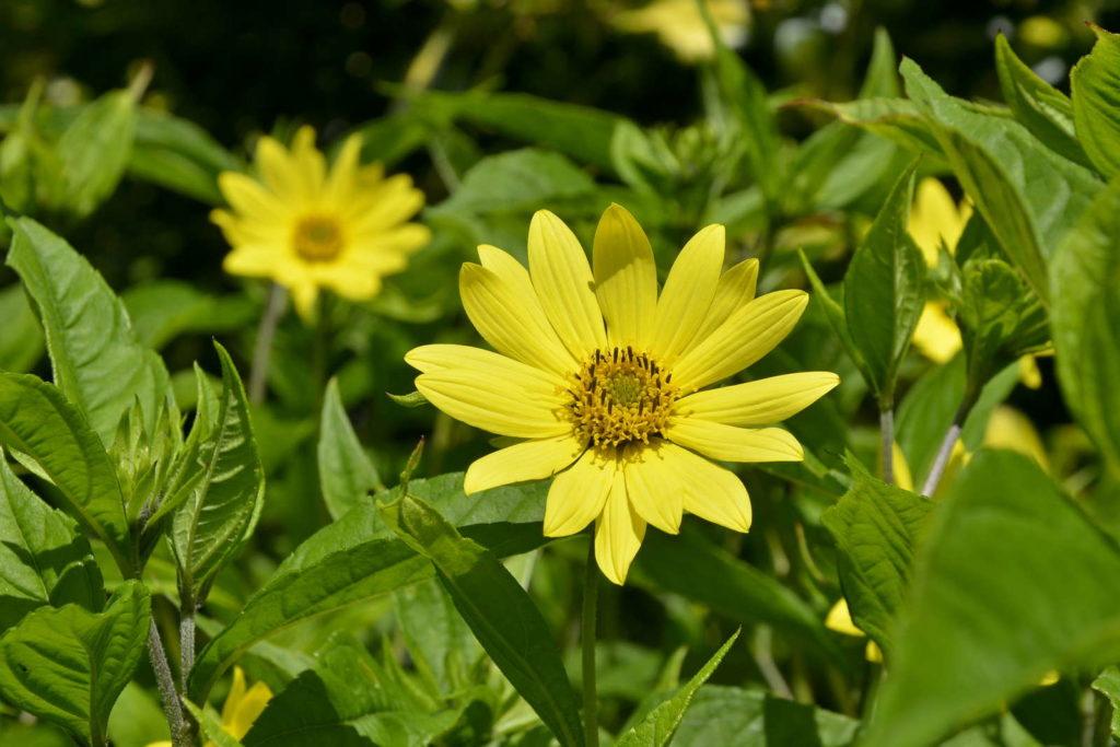 Lemon Queen Sonnenblume