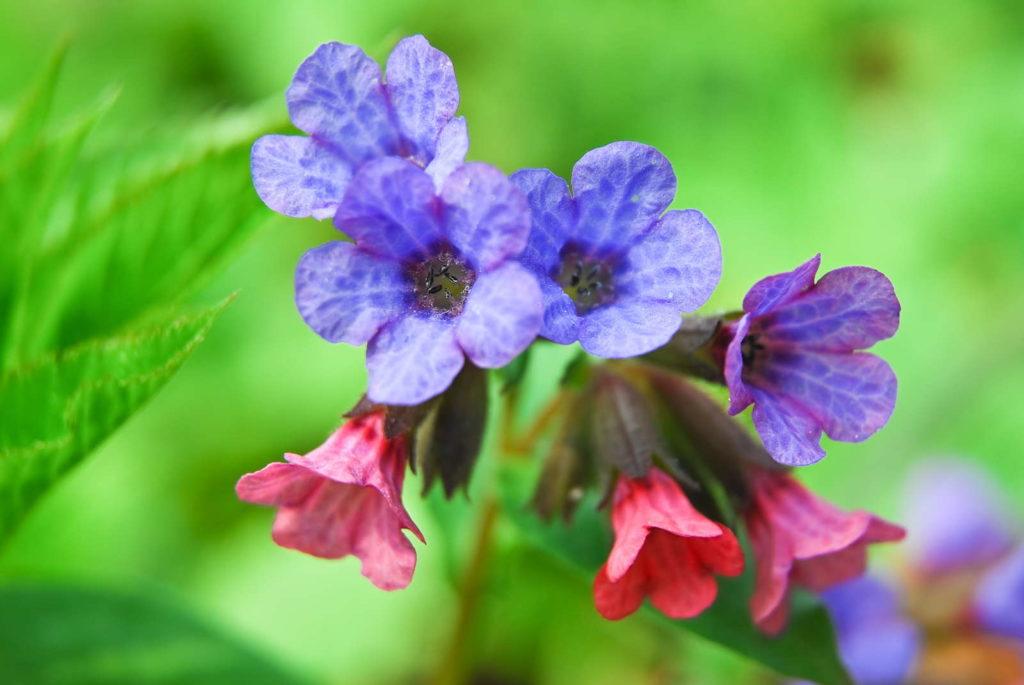Lungenkraut mit lila und rosa Blüten