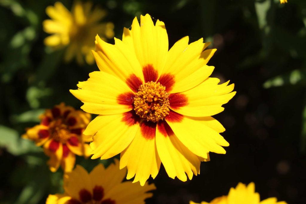 Mädchenauge Blüte gelb